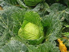 cabbage for a toothache