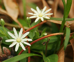 chickweed for acne