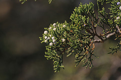 juniper oil for arthritis