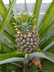 fresh pineapple for indigestion